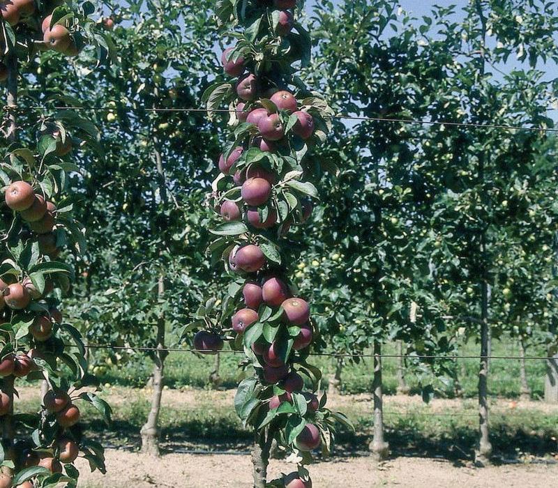Arbre fruitier pour petit jardin