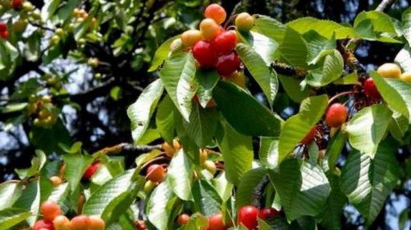 Maladies du cerisier