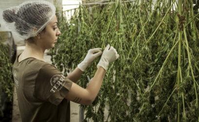 Acheter des graines et cultiver du CBD