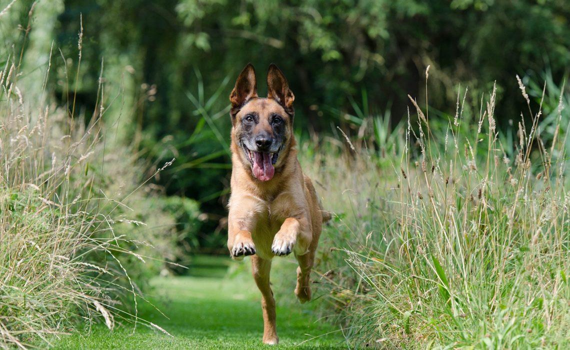 chien en fuite