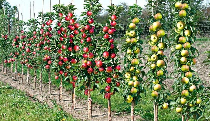 Choisir un arbre fruitier