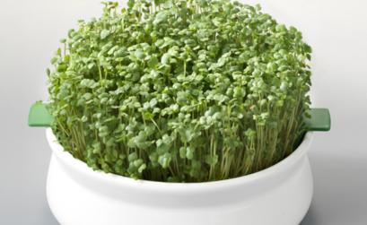 Coupelle de germination : graines germées
