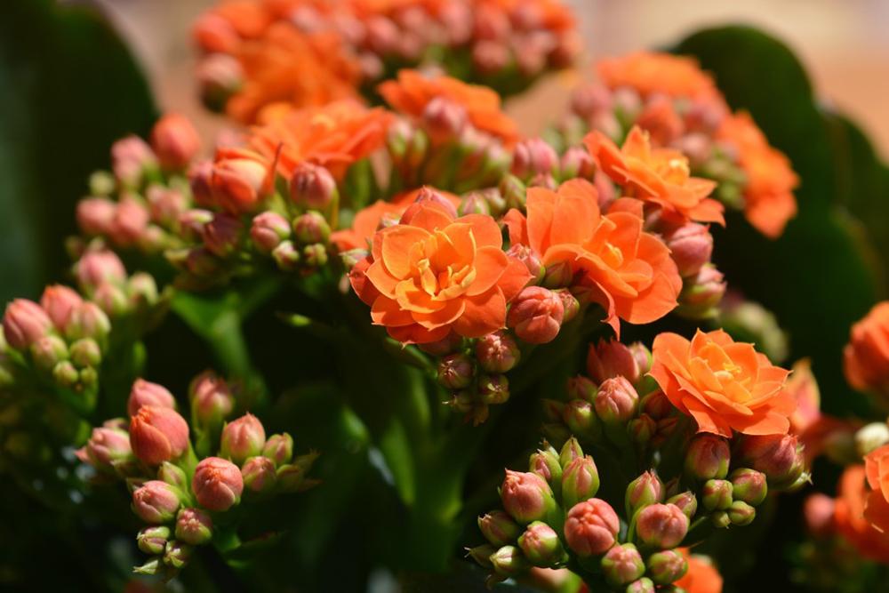 plante Kalanchoe