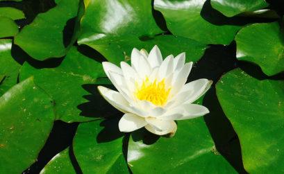 plante aquatique