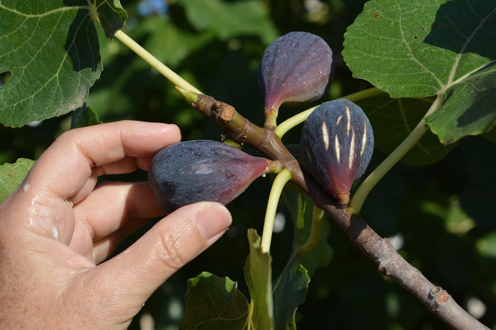 planter un figuier