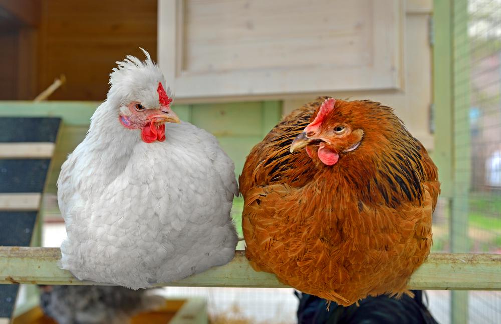 poules-perchoir