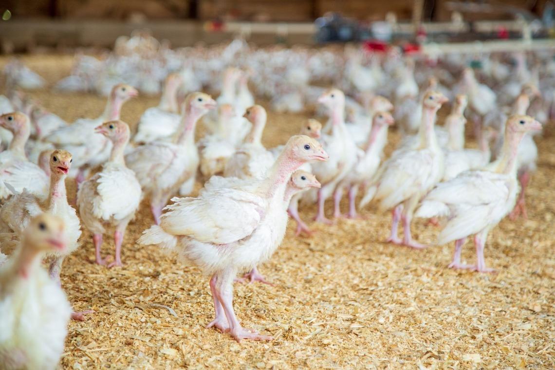 travaux avicoles